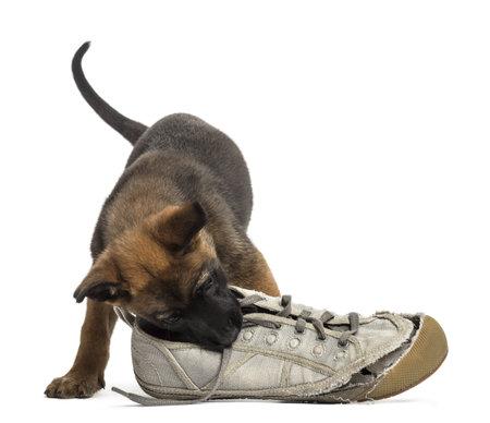 벨기에 셰퍼드 강아지 흰색 배경에 대해 스니커즈와 함께 연주 스톡 사진