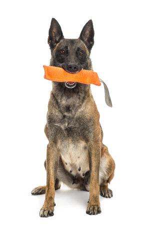 dog toy: Belgian Shepherd sitting and holding orange toy in its mouth against white background Stock Photo