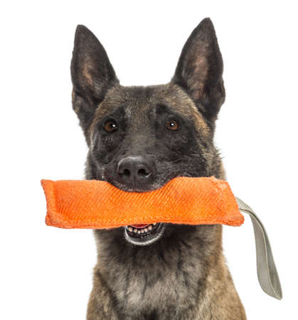 dog toy: Close-up of a Belgian Shepherd holding a orange toy in mouth against white background