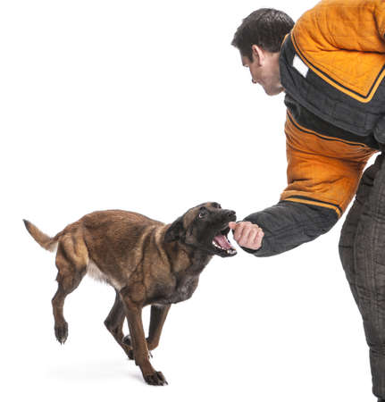 Belgian Shepherd running to attack the arm of a trainer wearing a body bite suit against white background photo