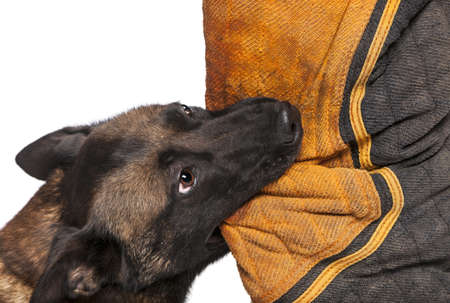 Belgian Shepherd biting a body bite suit against white background Stock Photo - 16486444