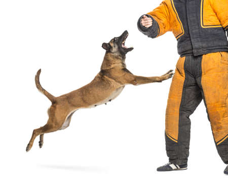 padded: Belgian Shepherd jumping to attack trainer wearing body bite suit against white background