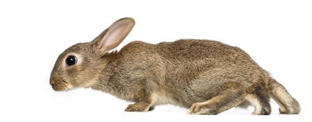 European rabbit or common rabbit, 2 months old, Oryctolagus cuniculus against white background photo