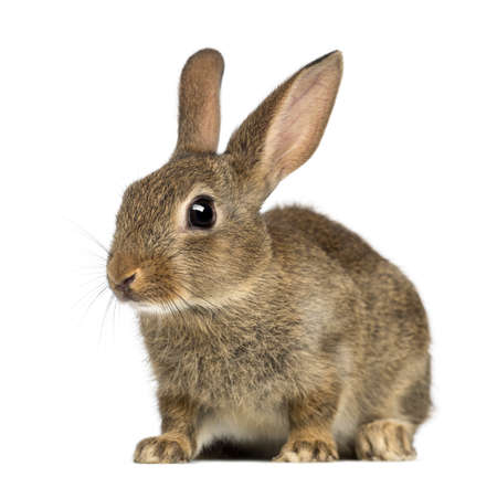 Europese konijn of gemeenschappelijke konijn, 2 maanden oud, Oryctolagus cuniculus tegen een witte achtergrond Stockfoto