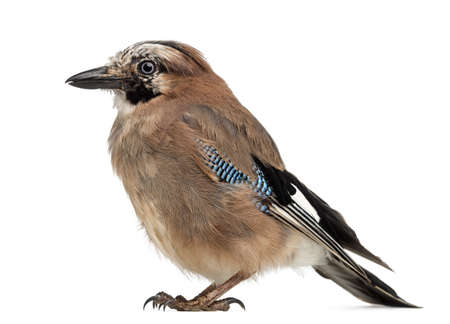 garrulus: Eurasian Jay, Garrulus glandarius, 8 years old against white background