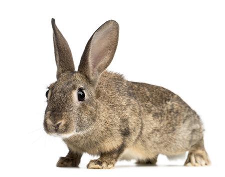 european rabbit: European rabbit or common rabbit, 3 months old, Oryctolagus cuniculus against white background Stock Photo