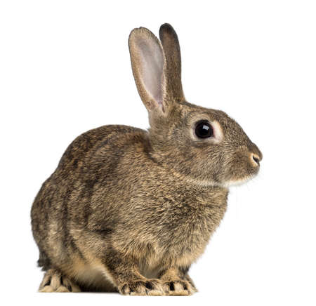 wit konijn: Europese konijn of gemeenschappelijke konijn, 3 maanden oud, Oryctolagus cuniculus tegen een witte achtergrond