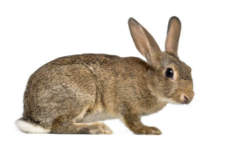 oryctolagus cuniculus: European rabbit or common rabbit, 3 months old, Oryctolagus cuniculus against white background Stock Photo