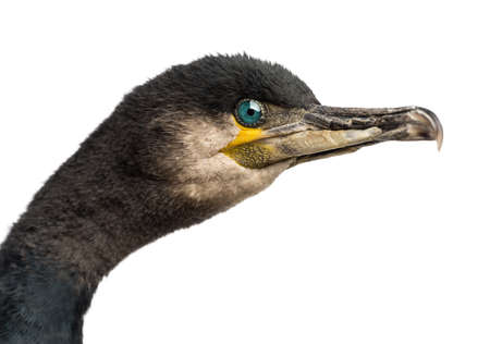 carbo: Great Cormorant, Phalacrocorax carbo, also known as the Great Black Cormorant against white background