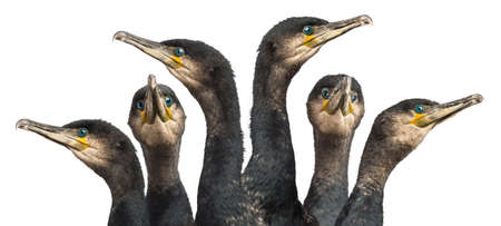 cormorants: Six Great Cormorants head, Phalacrocorax carbo, also known as the Great Black Cormorant against white background Stock Photo
