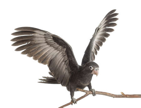 parrot flying: Greater Vasa Parrot, Coracopsis vasa, 7 weeks old, perched on branch with spread wings against white background