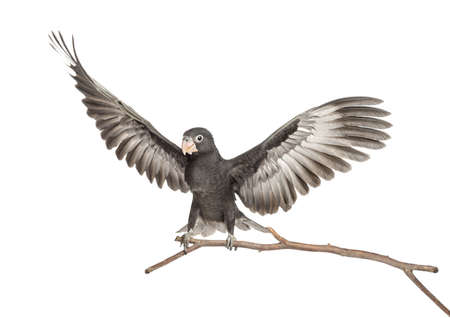 greater: Greater Vasa Parrot, Coracopsis vasa, 7 weeks old, perched on branch with spread wings against white background