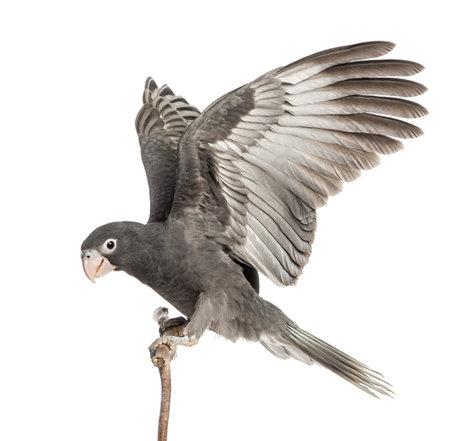 loro: Mayor Vasa Parrot, Coracopsis vasa, 7 semanas de edad, posado en rama con las alas extendidas contra el fondo blanco Foto de archivo
