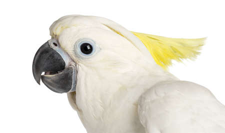 cockatoo: Sulphur-crested Cockatoo, Cacatua galerita, 9 weeks old against white background Stock Photo