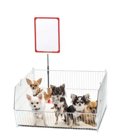 Chihuahuas in cage with white board against white background Stock Photo - 16486916