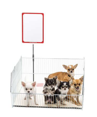 Chihuahuas in cage with white board against white background Stock Photo - 16486910