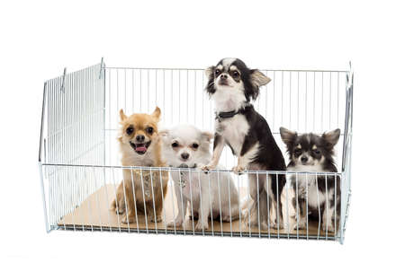 Chihuahuas in cage against white background Stock Photo - 16486603