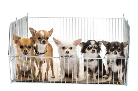 animal shelter: Chihuahuas in cage against white background Stock Photo