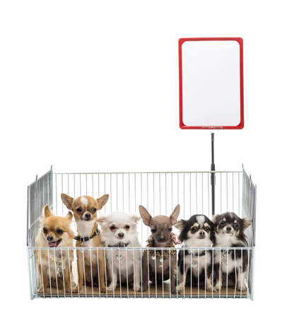 Chihuahuas in cage with white board against white background Stock Photo - 16486705