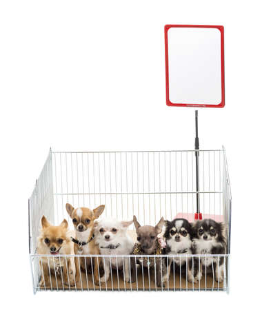 Chihuahuas in cage with white board against white background Stock Photo - 16485962