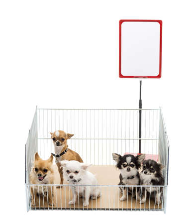 Chihuahuas in cage with white board against white background Stock Photo - 16486801
