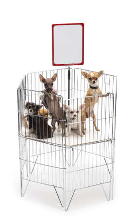 Chihuahuas in cage with white board against white background photo