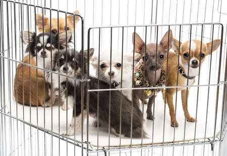 Chihuahuas in cage against white background Stock Photo - 16486258