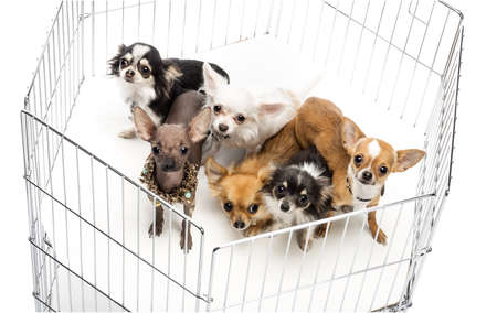 Chihuahuas in cage against white background photo
