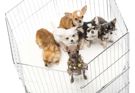 cage animals: Chihuahuas in cage against white background Stock Photo