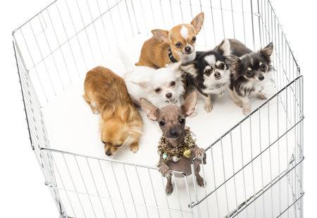 Chihuahuas in gabbia contro sfondo bianco