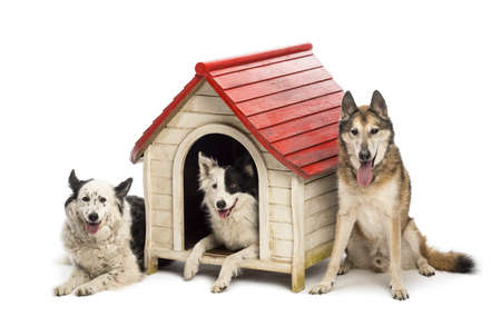 collies: Group of dogs in and surrounding a kennel against white background