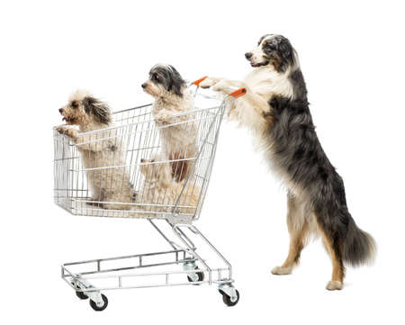 hind: Australian Shepherd standing on hind legs and pushing a shopping cart with dogs against white background Stock Photo