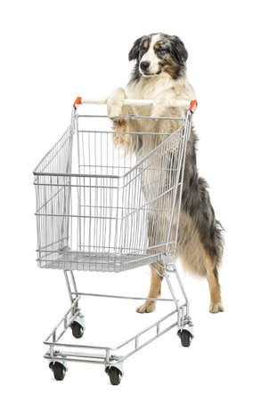 Australian Shepherd stand on hind legs and pushing a shopping cart, winking against white background photo