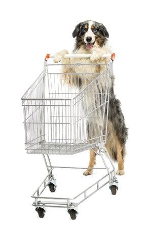 empujando: Pastor australiano pie sobre las patas traseras y empujando un carrito de compras contra el fondo blanco Foto de archivo