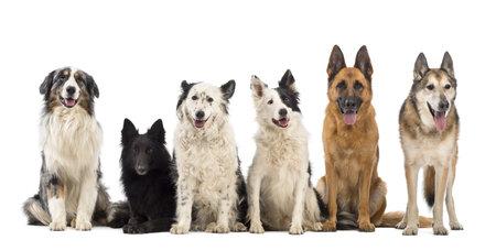 medium group: Australian Shepherd, Belgian Shepherd-Groenendael, Border Collie and German Shepherd dogs against white background