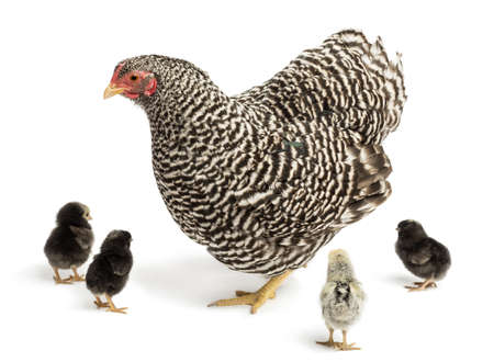 chicks: Mother Hen with its chicks against white background Stock Photo