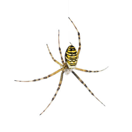 black and white spiders: Wasp spider, Argiope bruennichi, hanging on web against white background Stock Photo