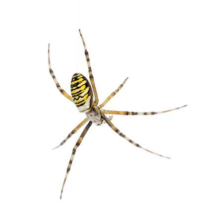 Wasp spider, Argiope bruennichi, hanging on web against white background Stock Photo - 16485897
