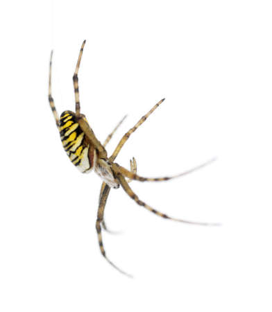 argiope: Wasp spider, Argiope bruennichi, hanging on web against white background Stock Photo