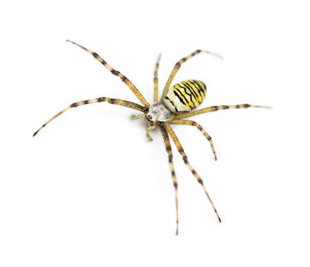 Wasp spider, Argiope bruennichi, against white background Stock Photo - 16485937