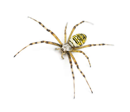 Wasp spider, Argiope bruennichi, against white background Stock Photo - 16485937