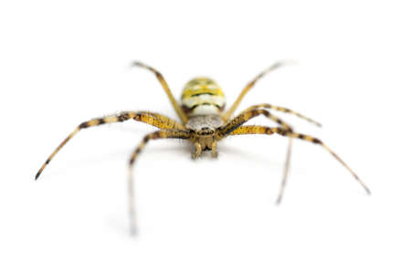 Wasp spider, Argiope bruennichi, against white background photo