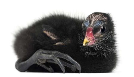 Common Moorhen lying, 4 days old against white background photo
