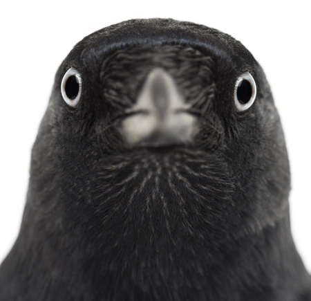 monedula: Close-up of a Western Jackdaw, Corvus monedula, (or Eurasian Jackdaw, or European Jackdaw or simply Jackdaw) against white background Stock Photo