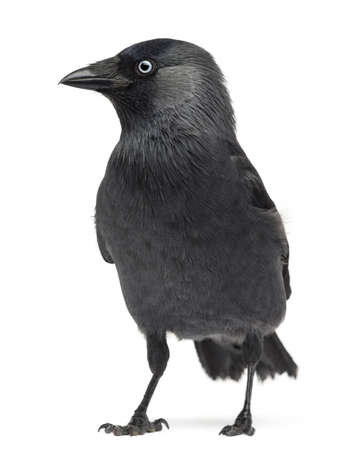 Western Jackdaw Corvus monedula, (or Eurasian Jackdaw, or European Jackdaw or simply Jackdaw) against white background Stock Photo - 16486279