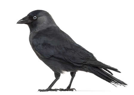 monedula: Side view of a Western Jackdaw, Corvus monedula, (or Eurasian Jackdaw, or European Jackdaw or simply Jackdaw) against white background Stock Photo