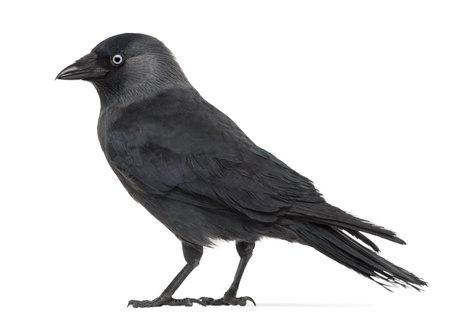 corvus: Vista lateral de un grajo occidental, Corvus monedula (o Grajilla, o europeo Jackdaw Jackdaw o simplemente) contra el fondo blanco