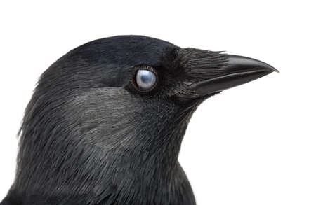 monedula: Close-up of a Western Jackdaw with the Nictitating membrane almost closed, Corvus monedula, (or Eurasian Jackdaw, or European Jackdaw or simply Jackdaw) against white background Stock Photo