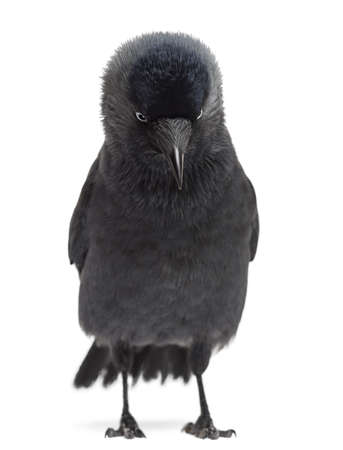 monedula: Western Jackdaw looking down, Corvus monedula, (or Eurasian Jackdaw, or European Jackdaw or simply Jackdaw) against white background Stock Photo