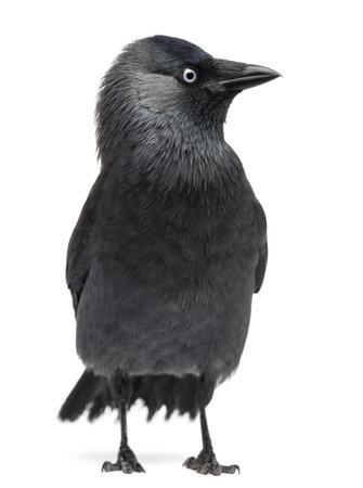 jackdaw: Western Jackdaw Corvus monedula, (or Eurasian Jackdaw, or European Jackdaw or simply Jackdaw) against white background